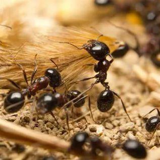 Колония муравьев - для муравьиной фермы